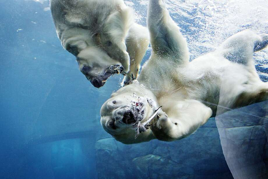 We're not surewhich one of these Copenhagen Zoo polar bears is Ivan and which is Noel, but one is about to lose an ear. Photo: Stine Bidstrup, Associated Press