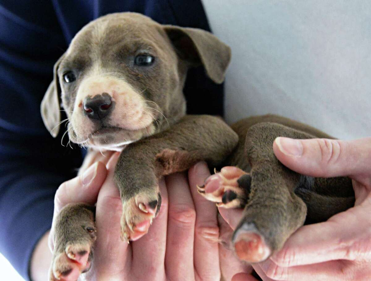A three-week-old pit bull puppy with its left rear paw cut off, one of three puppies all mutilated in the same area rescued in Albany and now at the Mohawk Hudson Animal Shelter, Tuesday Sept. 11, 2012, in Menands, N.Y. (John Carl D'Annibale / Times Union)