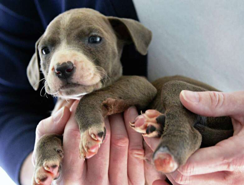 A three-week-old pit bull puppy with its left rear paw cut off, one of three puppies all mutilated i