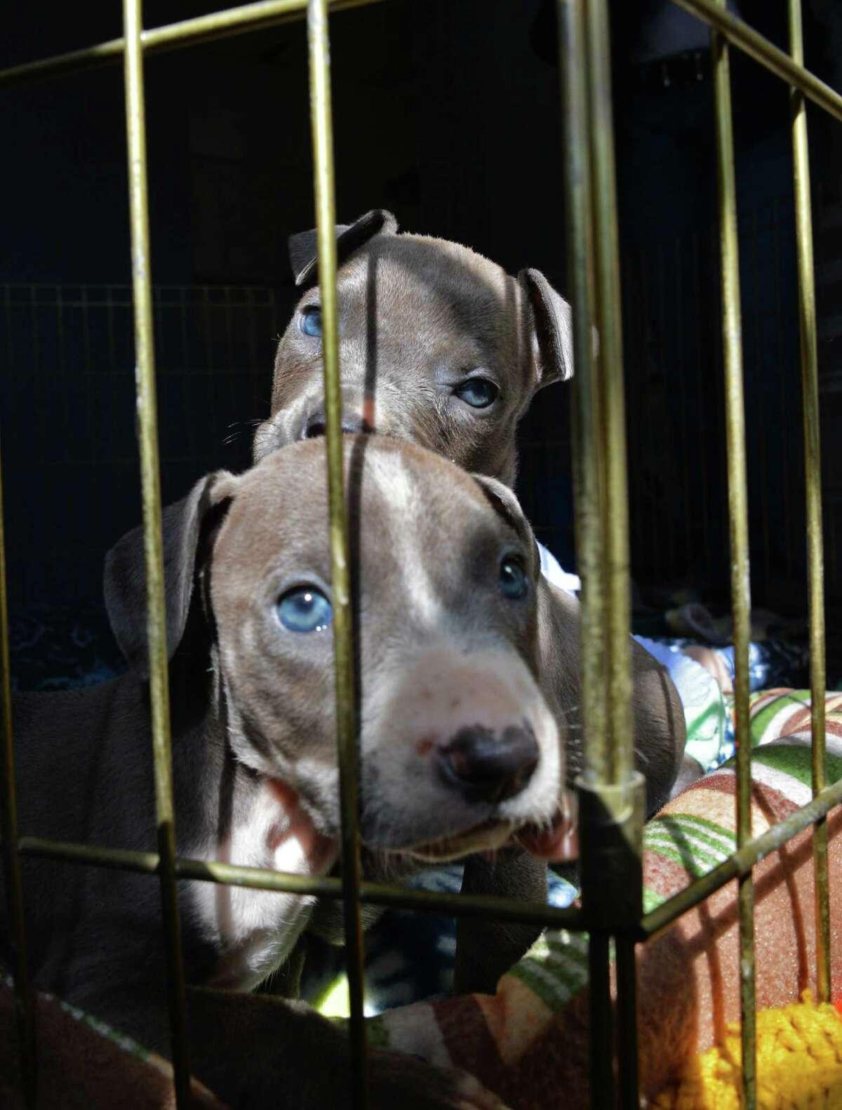 Two of the three pit bull puppies found mutilated and abandoned in Albany and now at the Mohawk Hudson Animal Shelter, Tuesday Sept. 11, 2012, in Menands, N.Y. (John Carl D'Annibale / Times Union)