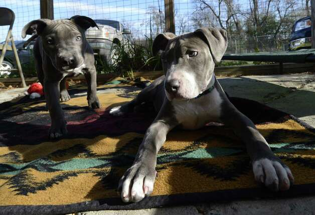 Pit bull puppies, Pearl, left and her brother Hudson, relax after Hudson received his new prosthetic paw at the Hudson Mohawk River Humane Society headquarters Nov. 12, 2012, in Menands, N.Y.  (Skip Dickstein/Times Union) Photo: SKIP DICKSTEIN
