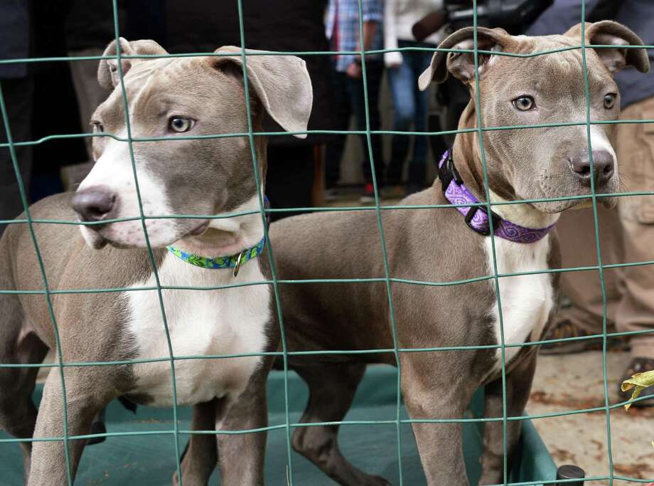 Hudson, left, and  and Pearl, right, the pit bull puppies found injured by train tracks, at the Mohawk Hudson Humane Society to meet their new adopted families in Menands Wednesday Dec. 5, 2012. (John Carl D'Annibale / Times Union) Photo: John Carl D'Annibale / 00020362A