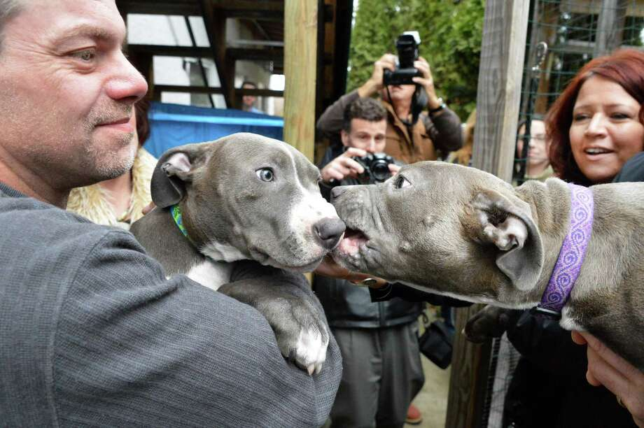 Hudson, left, and  and Pearl, the pit bull puppies found injured by train tracks, in the arms of their adoptive families, Richard Nash, left, of Schodack, and Susan Kittle of Poestenkill, at right, at the Mohawk Hudson Humane Society Wednesday Dec. 5, 2012, in Menands. (John Carl D'Annibale / Times Union) Photo: John Carl D'Annibale / 00020362A