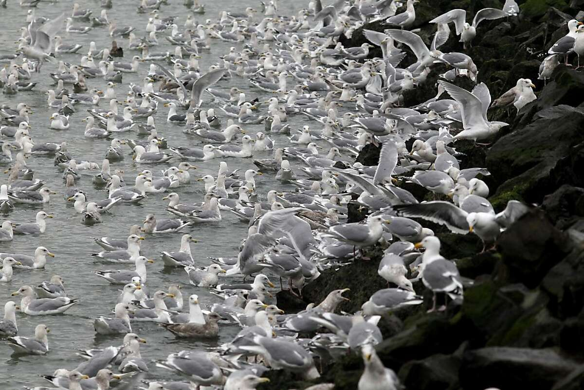 Thousands of shorebirds, mostly gulls, descended on the shores of Sausalito, Calif. to eat eggs which had been deposited recently by large schools of herring.