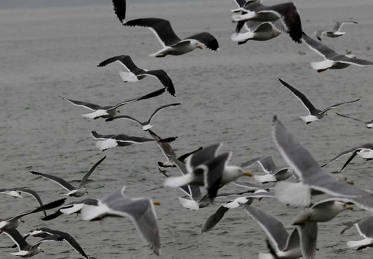 Thousands of shorebirds descend on the shores of Sausalito, Calif., to eat herring eggs.