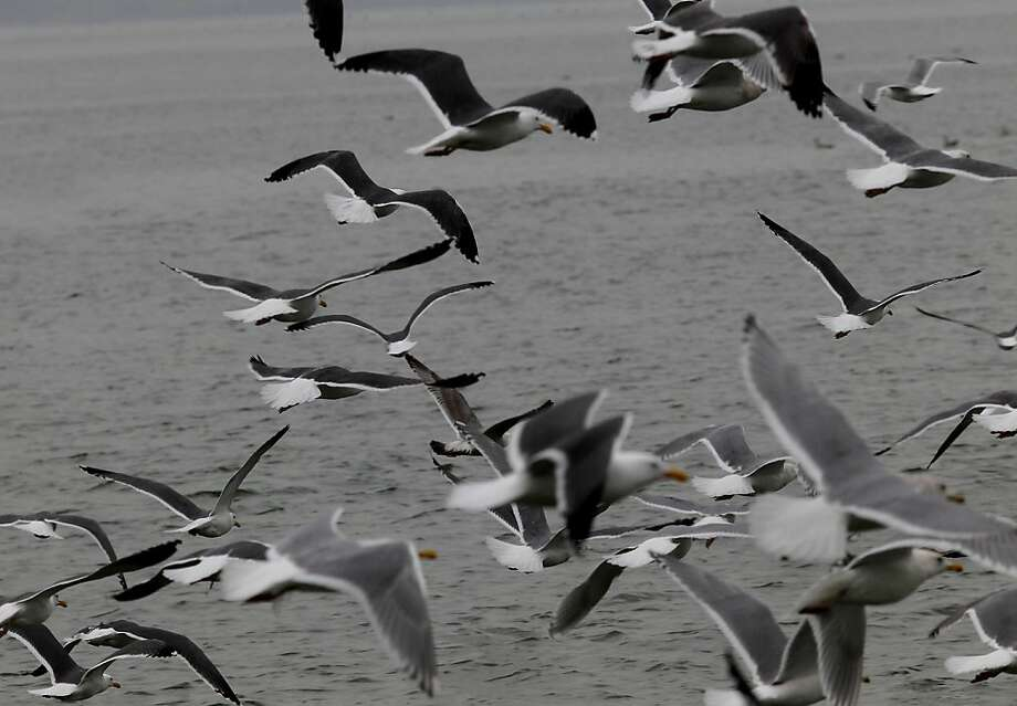 Thousands of shorebirds descend on the shores of Sausalito, Calif., to eat herring eggs. Photo: Brant Ward, The Chronicle