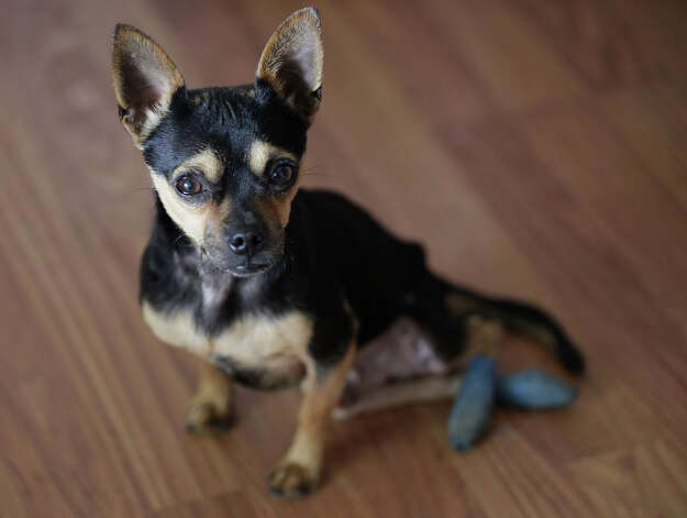 With his hind legs covered for protection, 2-year-old Chihuahua mix Scooter, is living at Malcolm and Gini Clements' house in Live Oak, Monday, Jan. 14, 2013. Two weeks prior, a San Antonio Animal Care Services officer brought in a Chihuahua in with injured hind legs, consistent with being hit by a car. After receiving medical treatment, the dog would drag himself on the ground, reopening his wounds. One of the veterinarians husband made the dog a customized wheelchair out of PVC pipe, their daughter's bike training wheels and flames painted on the sides. After watching the Chihuahua zip down the hall, staff members named him Scooter. Recently, Scooter was adopted by the couple. For the past two years, the couple has fostered dogs from ACS that have been abandoned or too young to be spayed or neutered. Photo: Jerry Lara, San Antonio Express-News / © 2013 San Antonio Express-News