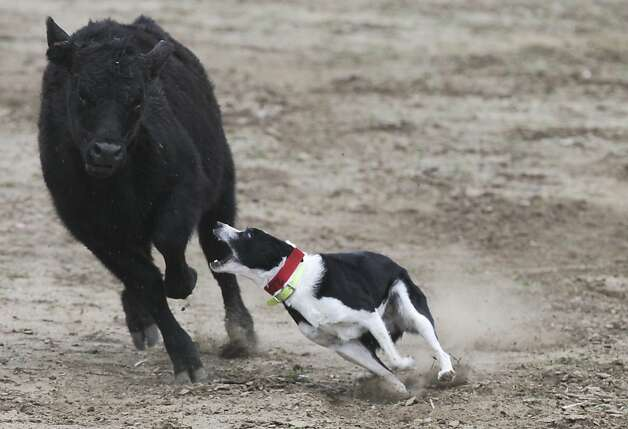 HH Amazing Grace, a border collie, chases a cow Wednesday, Jan. 23, 2013, during the stock dog competition at the Red Bluff Bull and Gelding Sale in Red Bluff, Calif. The event concludes with a bull and stock dog sale. Photo: Greg Barnette, Associated Press