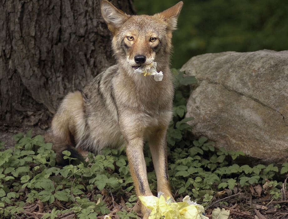 State wildlife officials warn that keeping garbage out of reach from coyotes is one way to discourage the animals from prowling around residential properties.  FAIRFIELD CITIZEN, CT 1/23/13 Photo: File Photo / Fairfield Citizen