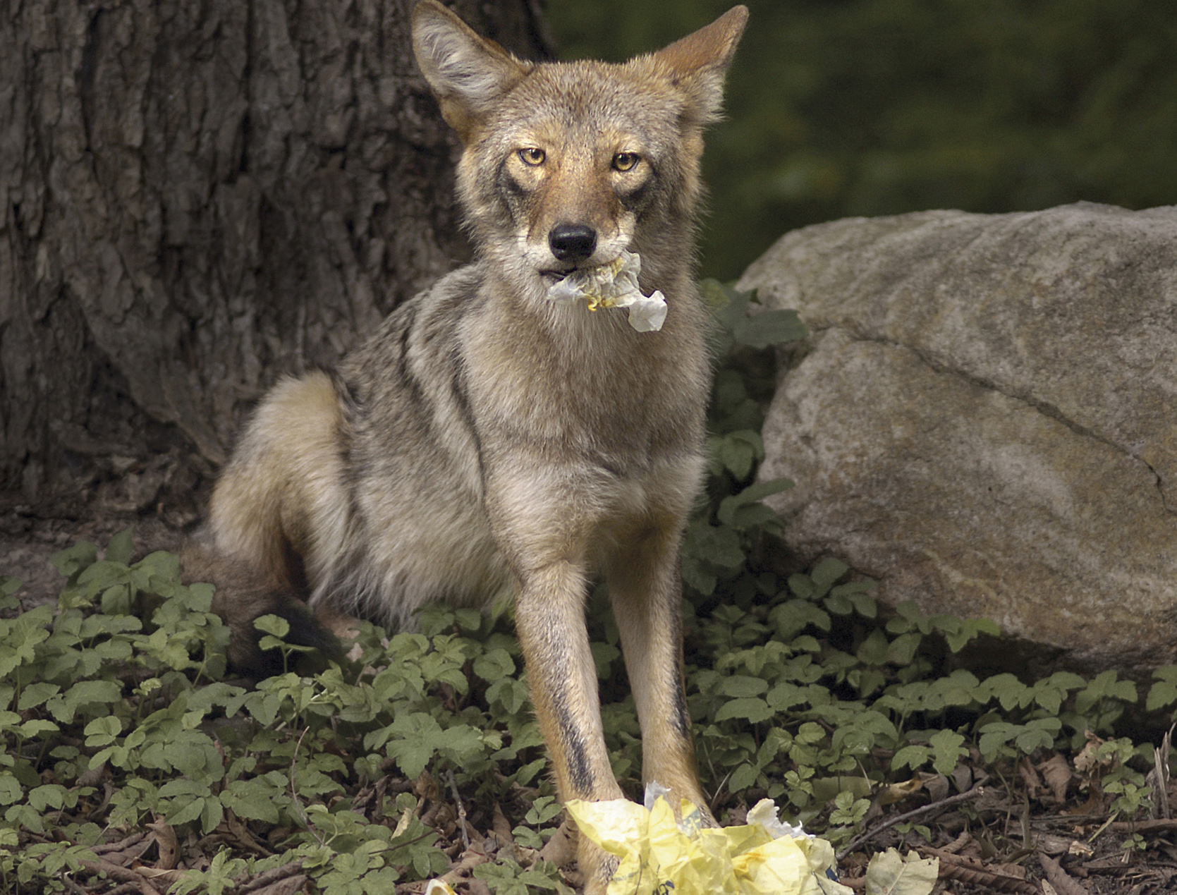 fairfielders warned coyotes here to stay learn to live with them