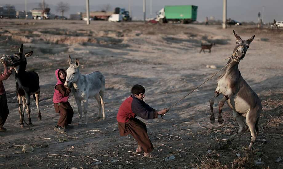 Stubborn as an ... An unruly donkey reinforces the stereotype near a highway on the outskirts of Islamabad. Photo: Muhammed Muheisen, Associated Press