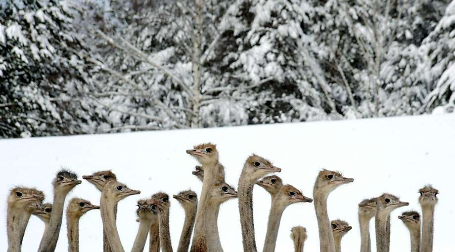 Man, are we on the wrong continent: Ostriches huddle for warmth in an enclosure on a farm in the Belarusian village of Kozishche. Photo: Viktor Drachev, AFP/Getty Images