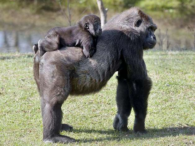 Don't make use the spurs: Mom isn't moving fast enough for gorilla jockey Kigali at the Breeze Zoo in Gulf Breeze, Fla. Photo: Devon Ravine, Associated Press