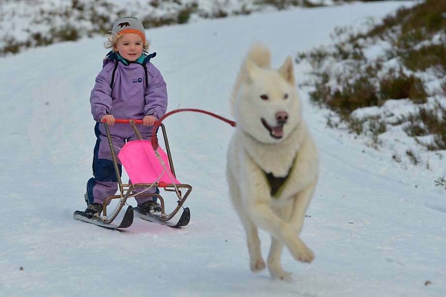 Where are your mittens, young lady? Three-year-old musher Ella Sugars takes a husky for a run at the Aviemore Sled Dog Rally in Feshiebridge, Scotland. Photo: Jeff J Mitchell, Getty Images