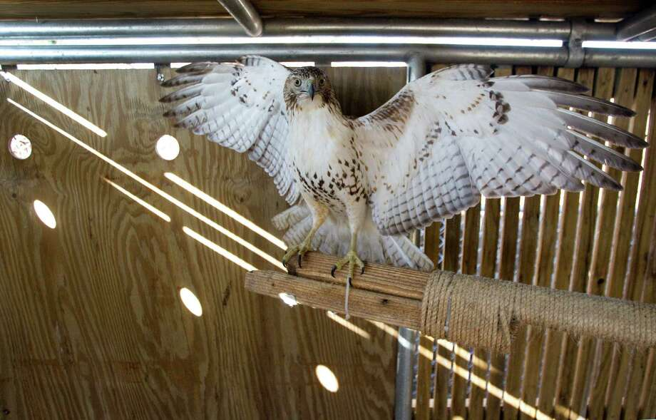 This red-tailed hawk is almost finished with rehabilitation at the Wildlife Center of Texas. The birds are released into the wild once healed. Photo: Brett Coomer, Houston Chronicle / © 2013 Houston Chronicle