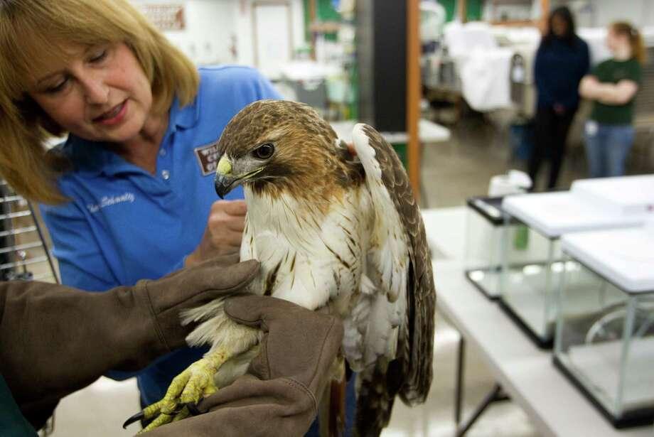 Sharon Schmalz checks on an injured red-tailed hawk at the Wildlife Center of Texas Wednesday, Jan. 23, 2013, in Houston. ( Brett Coomer / Houston Chronicle ) Photo: Brett Coomer, Houston Chronicle / © 2013 Houston Chronicle