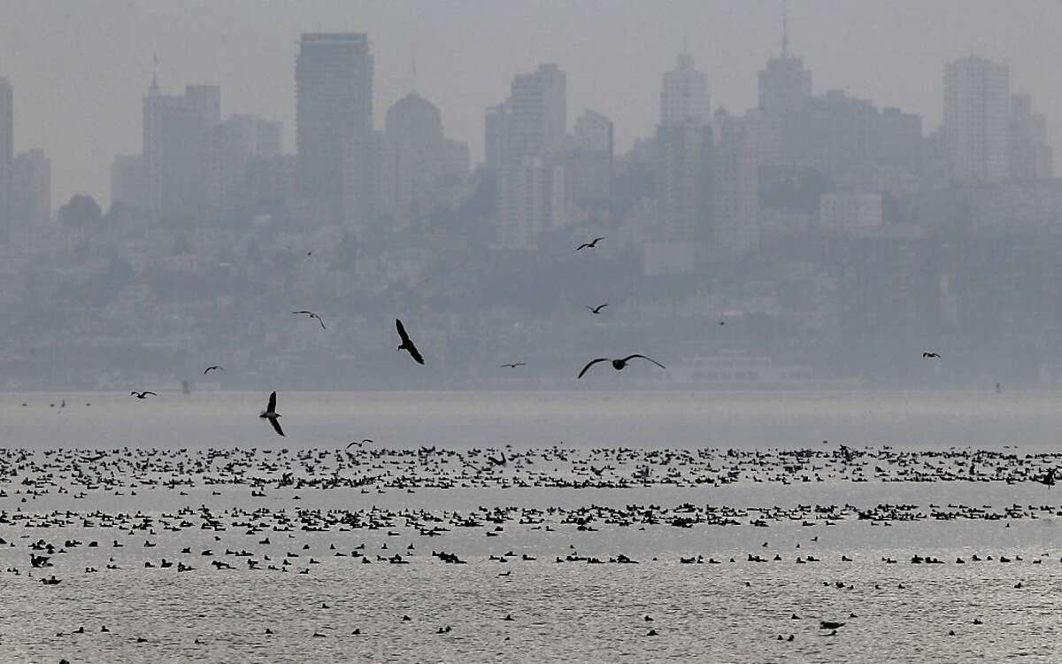 Shorebirds gathered in Richardson Bay with the San Francisco skyline in the background. Thousands of shorebirds can be seen in Richardson Bay after huge herring schools entered the area Thursday January 24, 2013.