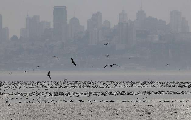 Shorebirds gather in Richardson Bay with the San Francisco skyline in the background. Huge herring schools have entered the area, attracting the birds. Photo: Brant Ward, The Chronicle