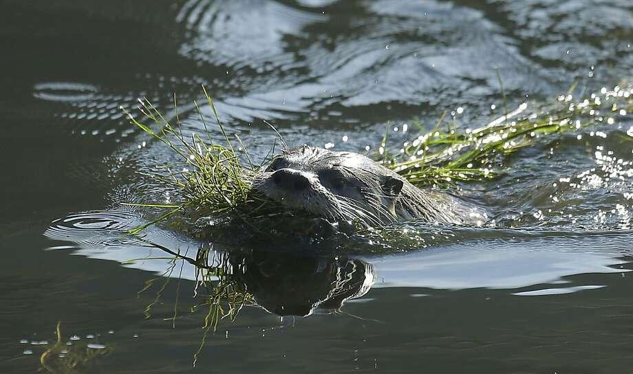 River otter makes home at Sutro Baths ruins. Photo: Ben Margot, Associated Press