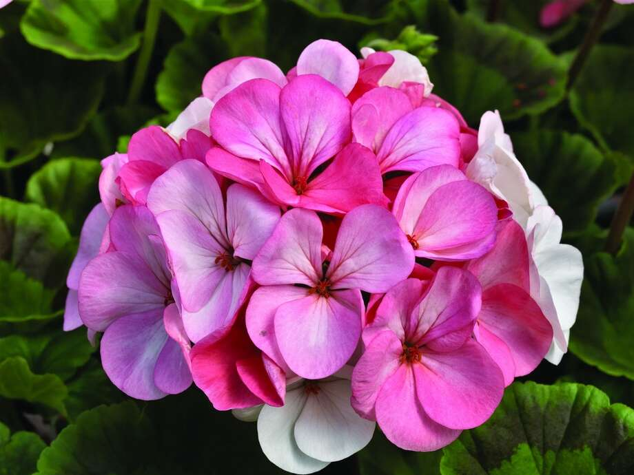 Geranium Pinto Premium White to Rose