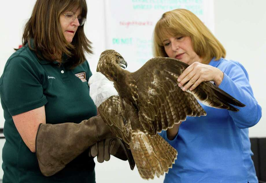 Margaret Pickell, left, and Sharon Schmalz checks on an injured red-tailed hawk at the Wildlife Center of Texas Wednesday, Jan. 23, 2013, in Houston. Photo: Brett Coomer, Houston Chronicle / © 2013 Houston Chronicle