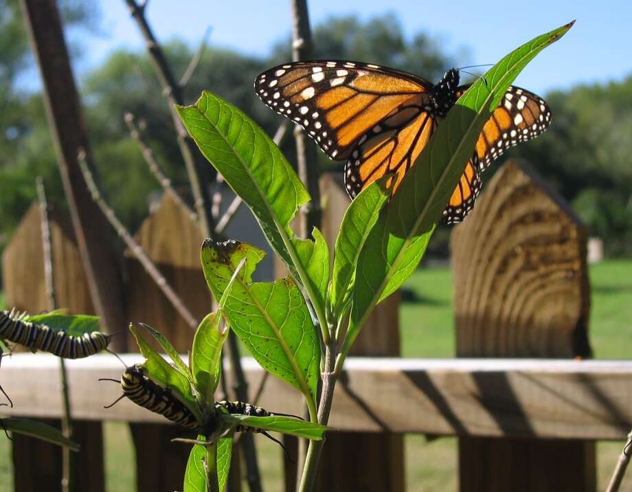 Monarch caterpillars and adult butterfly on milkweed plant. LaChance photo