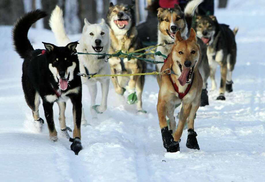 "In this photo taken Thursday Jan. 17, 2013 a group of sled dogs from the Muddy Paw Sled Dog Kennel runs a trail in Jefferson, N.H. The kennel takes in rescues and ""second-chance"" dogs  and is also home to a blind dog that relies on his brother to keep up with the rest of the team. Photo: Jim Cole, AP / AP"