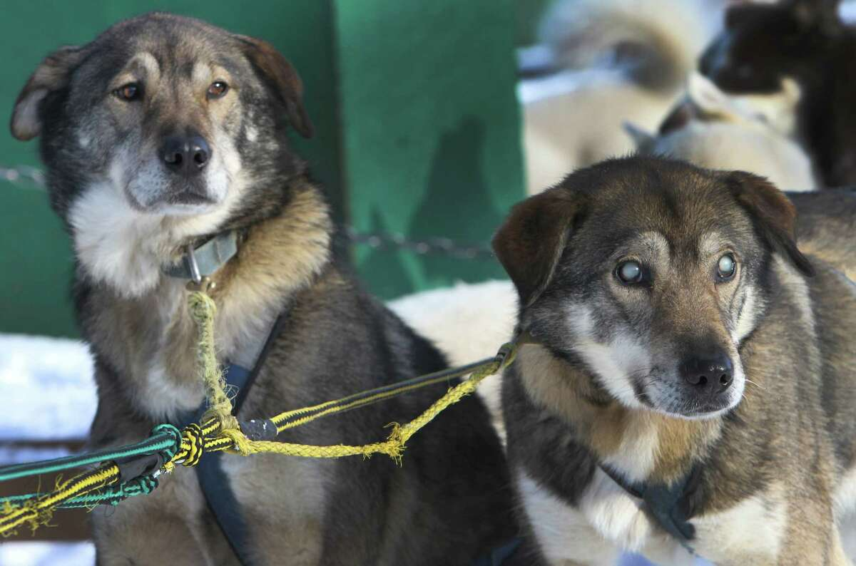 In this photo taken Thursday Jan. 17, 2013, sled dogs Poncho, left, and his blind brother Gonzo are hooked up for a run at the Muddy Paw Sled Dog Kennel, in Jefferson, N.H. Poncho has taken to helping his blind brother on regular runs.