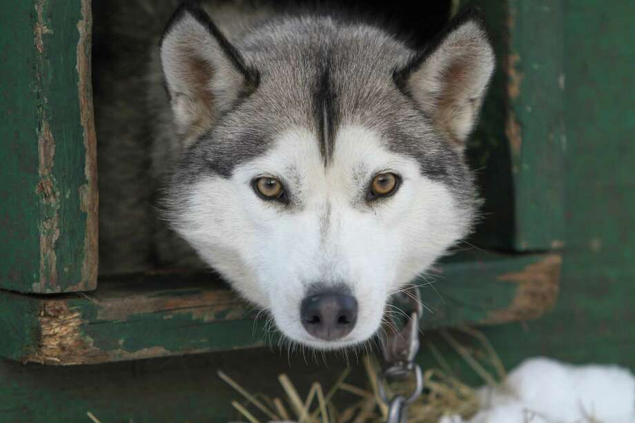 "This Thursday Jan. 17, 2013 photo shows one of 120 dogs from the Muddy Paw Sled dog Kennel in Jefferson, N.H. The kennel takes in rescues and ""second-chance"" dogs  and is also home to a blind dog that relies on his brother to keep up with the rest of the team. Photo: Jim Cole, AP / AP"