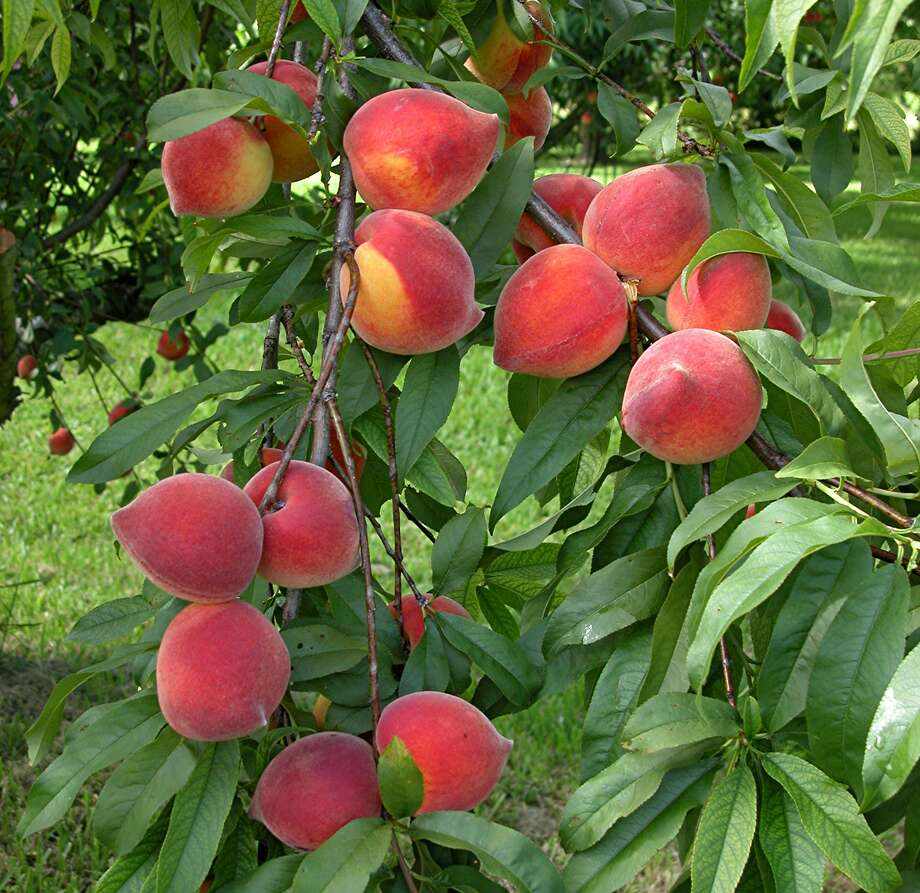 Shop weekend fruit trees sales to add to your home orchard. Chronicle file photo.