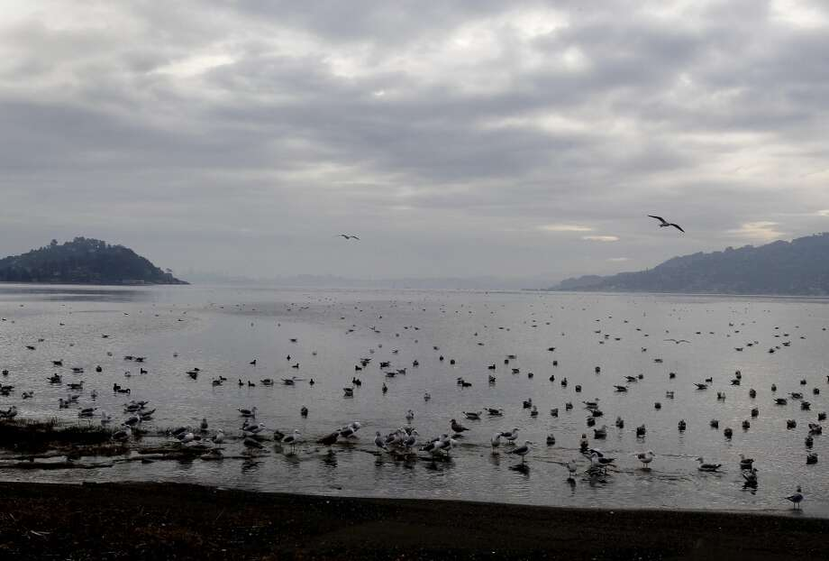 At Blackies Pasture in Tiburon, Calif. shorebirds gathered to feast on herring and herring eggs. Thousands of shorebirds can be seen in Richardson Bay after huge herring schools entered the area.
