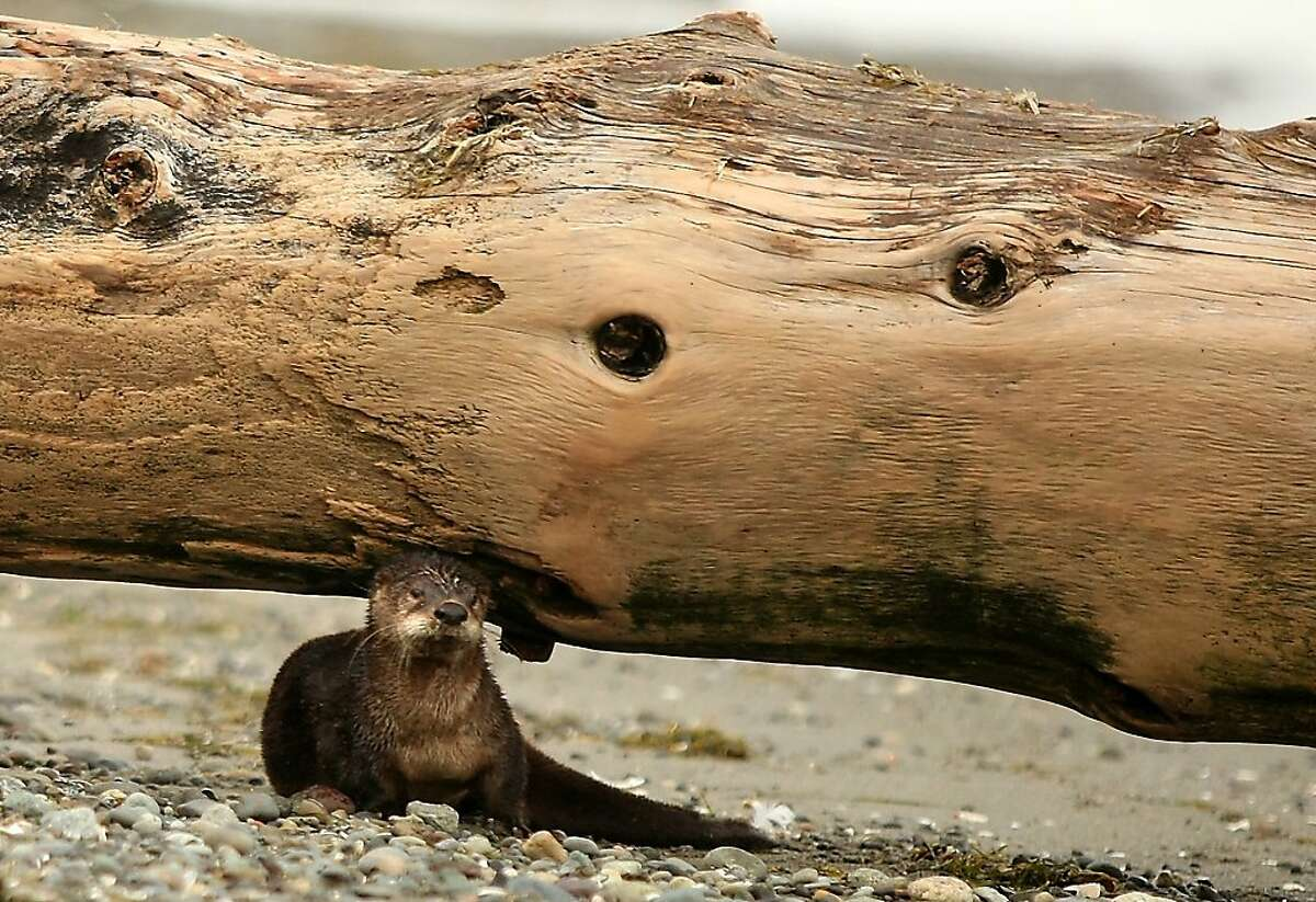 I can't balance this on my head much longer ... The otters at Faye Bainbridge Park in Bainbridge Island, Wash., are really strong.