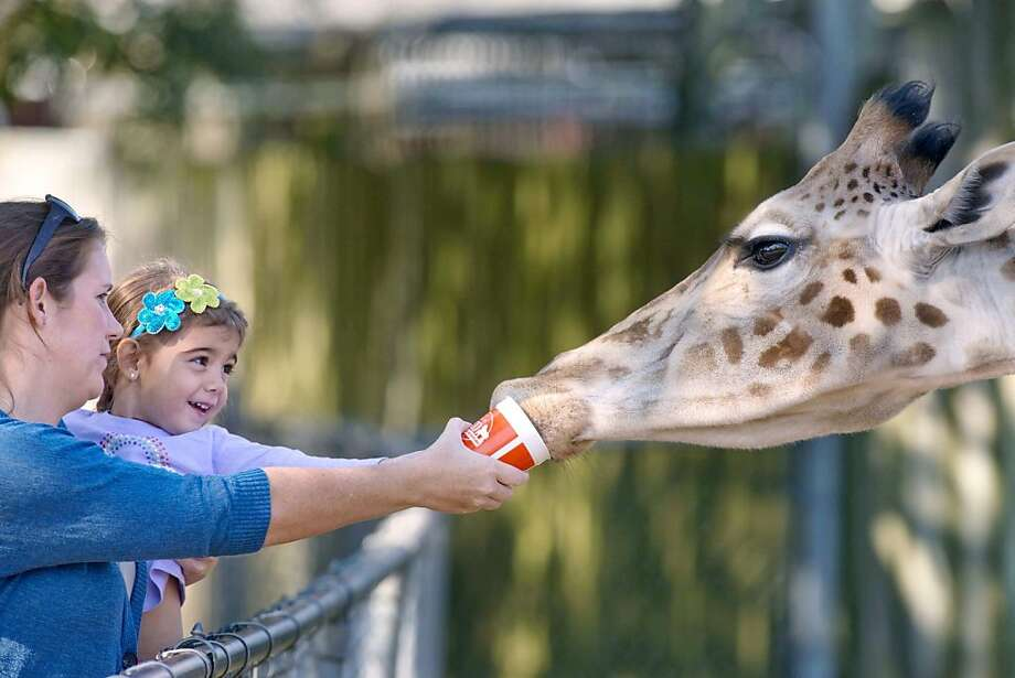 Wonder if she drank from the cup afterwards: With a little help from mom Summer, Madison Strong gives a giraffe a sip at the Gulf Breeze Zoo in Florida. Photo: Devon Ravine, Associated Press