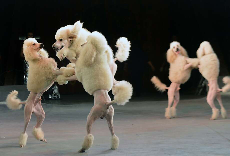 How do you like my Brazilian wax? Poodles put their paws together for a slow dance during a Ukrainian National Circus performance in Kiev. Photo: Sergei Supinsky, AFP/Getty Images