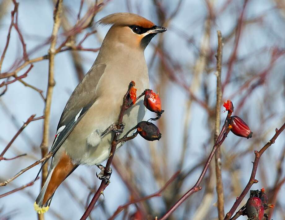 Nobody can tell it's a rug, right? A Bohemian Waxwing perches on a branch near Mallnow, Germany. Photo: Patrick Pleul, AFP/Getty Images