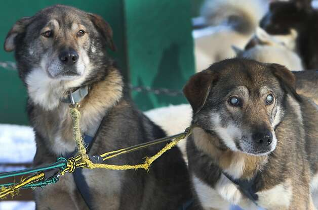 Sightless sled buddy: When Poncho (left) goes on a run at the Muddy Paw Sled Dog Kennel in Jefferson, N.H., he's always teamed with brother Gonzo. Poncho serves as the eyes for his blind brother. Photo: Jim Cole, Associated Press