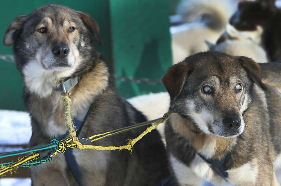 Sightless sled buddy:When Poncho (left) goes on a run at the Muddy Paw Sled Dog Kennel in Jefferson, N.H., he's always teamed with brother Gonzo. Poncho serves as the eyes for his blind brother. Photo: Jim Cole, Associated Press