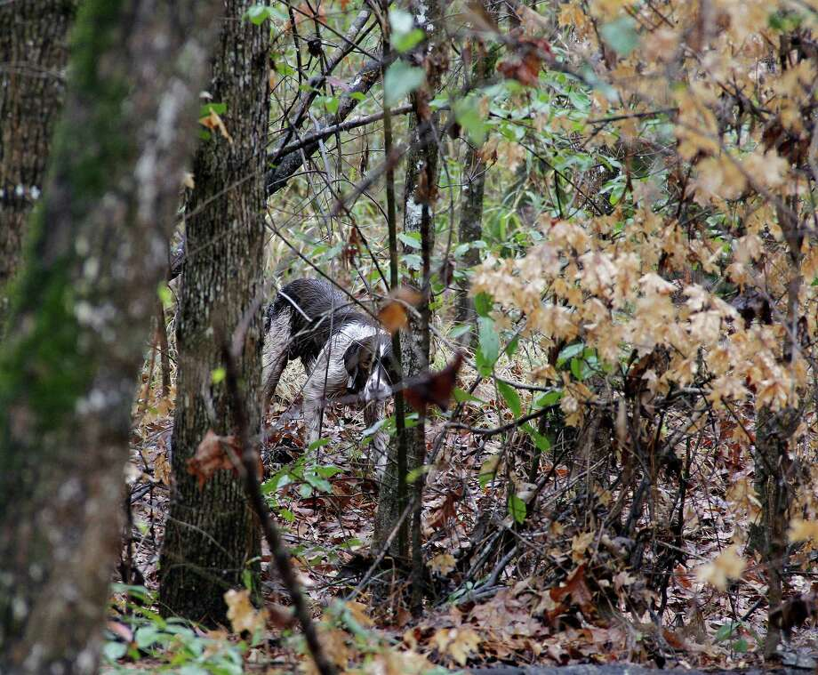 Bacchus points a woodcock hidden and all but invisible on on the tangled forest floor. The birds, which depend on their incredibly effective camouflage to avoid their detection by predators, are usually a very tight-holding bird. Photo: Shannon Tompkins, Shannon Tompkins/Chronicle / Houston Chronicle