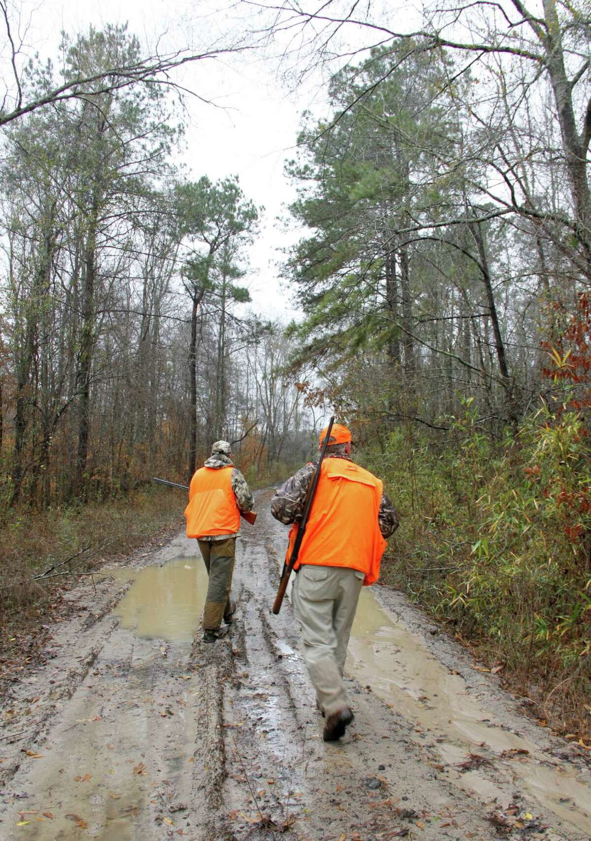 A pair of hunters walks along a sandy lane through a patch of East Texas forest holding woodcock. The woodland birds sometimes search for worms, their main food source, along these roads during night or at dawn and suck, then retreat into the adjacent woods to spend the day.