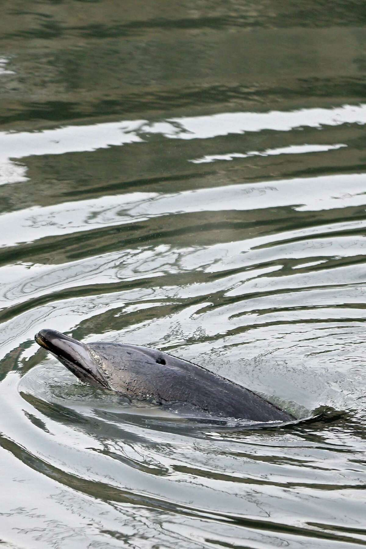 NEW YORK, NY - JANUARY 25: A common dolphin comes up for air after getting stuck in a section of the Gowanus Canal on January 25, 2013 in Brooklyn borough of New York City. Officials are waiting till high tide in the hopes that the stuck dolphin will be able to free itself from the canal.