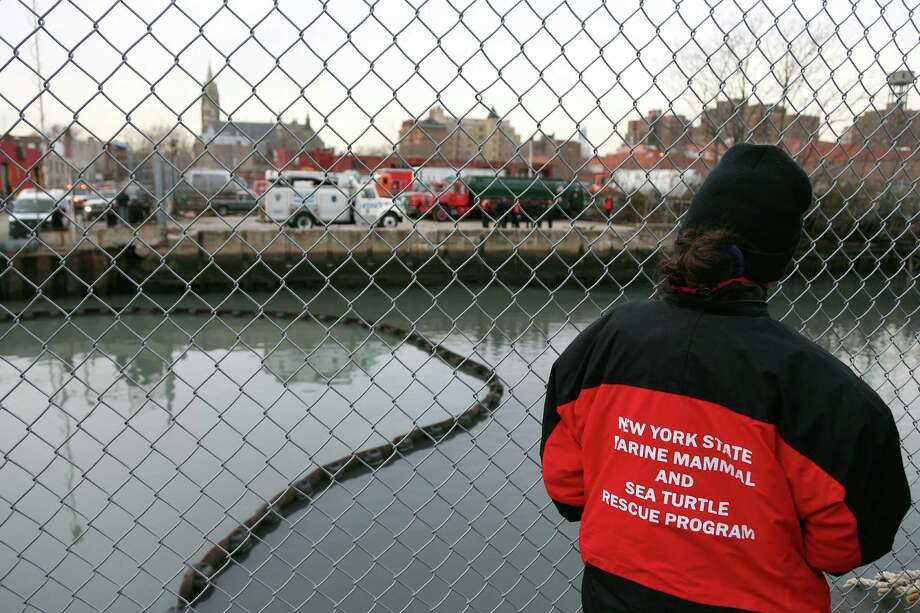 NEW YORK, NY - JANUARY 25:  A member of the New York State Marine Mammal and Sea Turtle Rescue Program stands at the side of the Gowanus Canal where a common dolphin managed to get stuck on January 25, 2013 in Brooklyn borough of New York City. Officials are waiting till high tide in the hopes that the stuck dolphin will be able to free itself from the canal. Photo: Michael Heiman, Getty Images / 2013 Getty Images