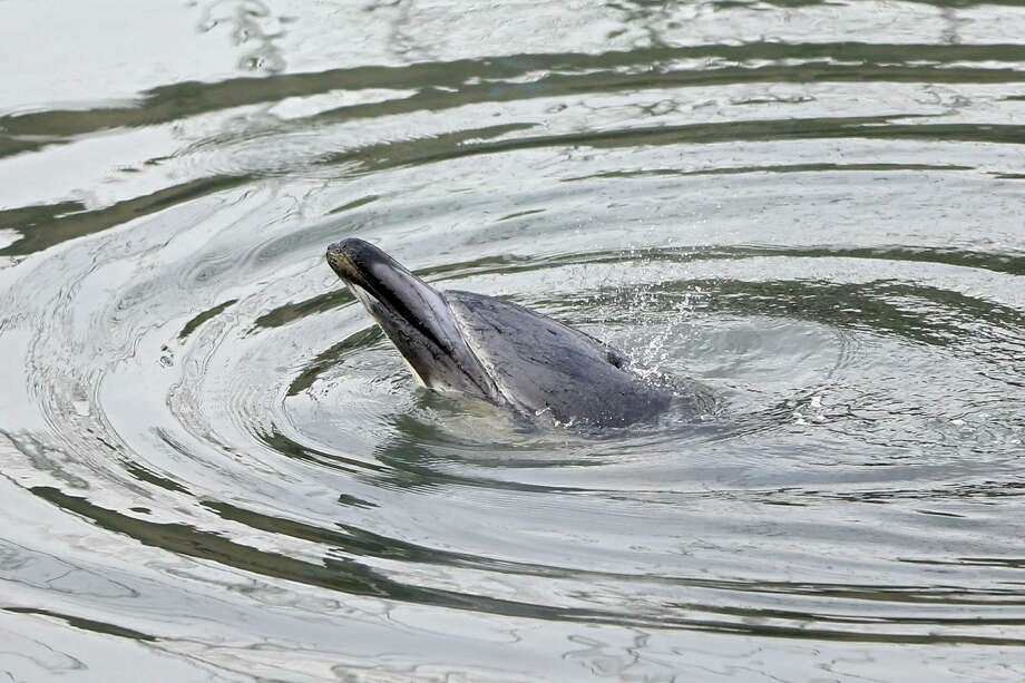 NEW YORK, NY - JANUARY 25:  A common dolphin comes up for air after getting stuck in a section of the Gowanus Canal on January 25, 2013 in Brooklyn borough of New York City. Officials are waiting till high tide in the hopes that the stuck dolphin will be able to free itself from the canal. Photo: Michael Heiman, Getty Images / 2013 Getty Images