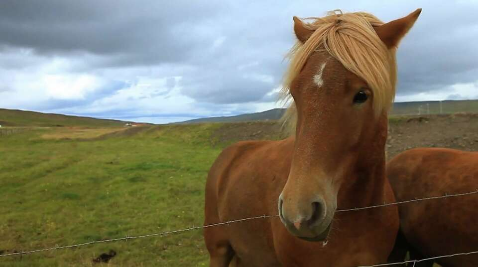 One of Iceland's famous tiny horses.