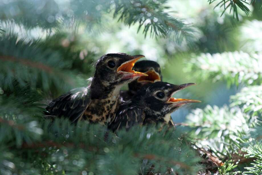 "When a pair of robins built their nest in a tree just a few feet from the back porch of the Musser's home in Loudonville in July 2012, David Musser set up his camera on a tripod and took dozens of photos after the babies hatched and started growing. ""This was my best shot. They were as big as their parents and strong enough to fly away after less than three weeks in the nest,"" he says. (David Musser) Photo: Unknown"