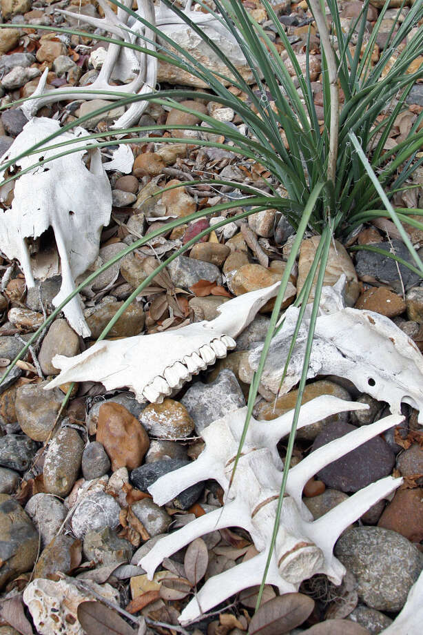Animal bones become yard art in the backyard. Photo: Danny Warner