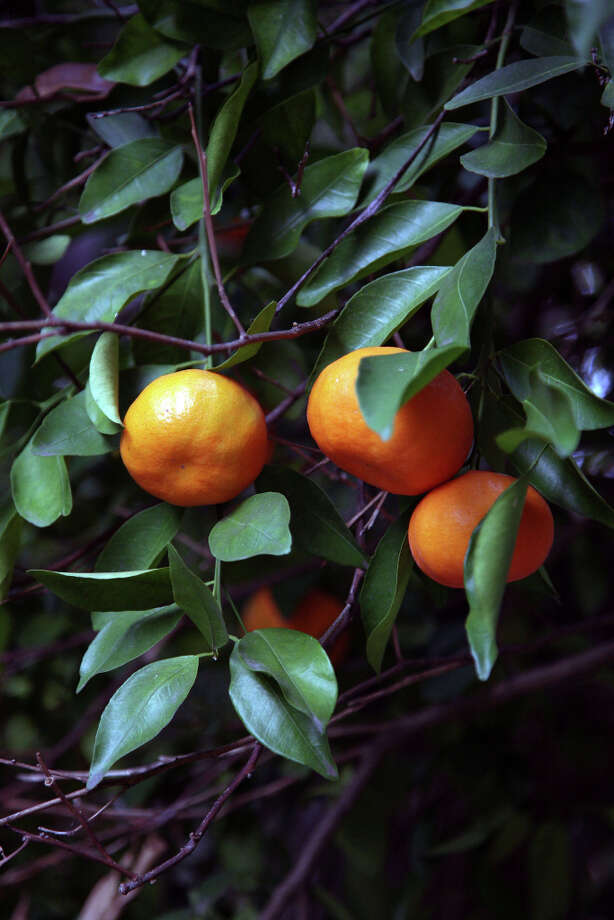 A citrus tree grew near the heritage oak tree on the side of the house, adding more color to an already colorful backyard. Photo: Danny Warner