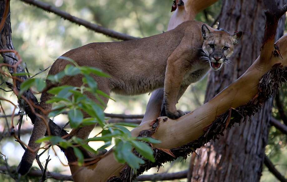 A treed female mountain lion expresses her displeasure to researchers observing her. A state senator says officials are too quick to shoot wandering pumas. Photo: Michael Macor, The Chronicle