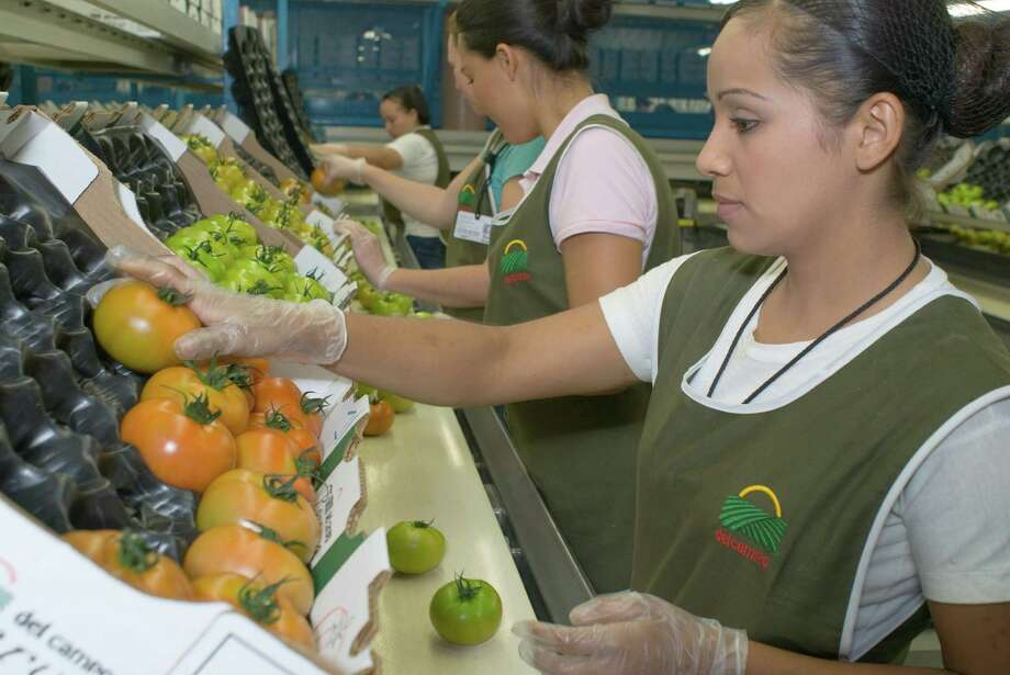 Greenhouses of the Del Campo agricultural complex in Culiacán, Sinaloa, México. Packing line for beefsteak tomatoes. Photo: Keith Dannemiller, Photographer / ©2008 Keith Dannemiller