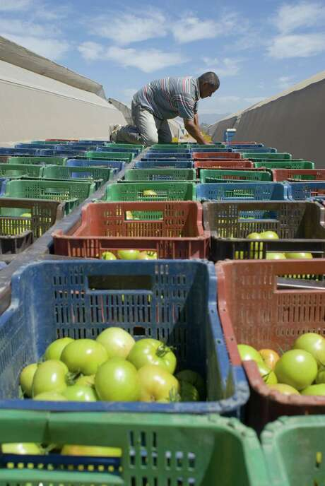 Greenhouses of the Del Campo agricultural complex in Culiacán, México, load boxes of beefsteak tomatoes on flatbed trucks for transport to the packing house. Photo: Keith Dannemiller, Photographer / ©2008 Keith Dannemiller