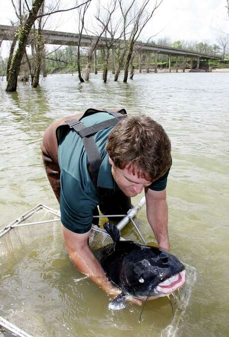 Josh Blackmon of TPWD's Jasper Fish Hatchery prepares to release a 50-pound-plus blue catfish into the Trinity River below Lake Livingston. The fish was one of 41 huge cats that had served decades as brood fish in the hatchery and were returned to the Trinity and Lake Livingston, where they had been collected years ago. Photo: Shannon Tompkins, Blue Catfish
